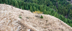 TOKUSHIMA DAYS - Kamikatsu (junog007) Tags: autumn mountain tree japan nikon shikoku serene tokushima d800 2470mm silvergrass kamikatsu takamaru nanocrystalcoat