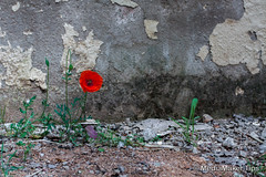 Poppy flower (TranceDrumer) Tags: old shadow red summer brown plant flower color building green nature stone wall closeup architecture concrete outdoors ancient exterior image antique vibrant sunny structure petal growth poppy backgrounds backdrop flowering built solid