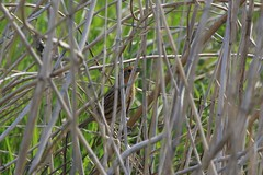 Le Contes Sparrow (kidbirder) Tags: