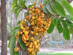 Diploglottis cunninghamii 9 (barryaceae) Tags: kooloobung creek nature park port macquarie new south wales australia australianrainforestplant ausrfps sapindaceae order sapindales soapberry family