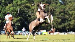 La lobuna overa (Eduardo Amorim) Tags: horses horse southamerica argentina criollo caballo cheval caballos cavalos pferde herd cavalli cavallo cavalo gauchos pferd ayacucho chevaux gaucho cavall  amricadosul gacho amriquedusud provinciadebuenosaires  gachos  sudamrica suramrica amricadelsur sdamerika crioulo caballoscriollos criollos jineteada  tropillas buenosairesprovince americadelsud gineteada tropilhas tropilla crioulos cavalocrioulo americameridionale tropilha caballocriollo eduardoamorim cavaloscrioulos