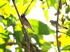 PC130954 (gprana) Tags: bali bird indonesia olympus finch munia m43 scalybreastedmunia lonchurapunctulata singaraja micro43 microfourthirds olympusomdem5 olympusmzuikodigitaled75300mmf4867ii