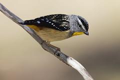 Spotted Pardalote Male 2015-11-07 (_MG_6269) (ajhaysom) Tags: australia melbourne australianbirds greenvale spottedpardalote pardalotuspunctatus canoneos60d sigma150600 woodlandshistoricpark