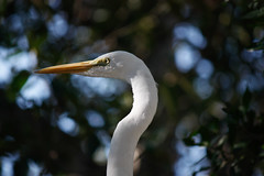 _MG_7302 (Austin.Cox) Tags: birds eventstrips floridakeys greategret nature