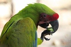 Polly wants a Acorn (Thanks for over 2 million views!!) Tags: macro macrophotography bird macaw parrot nature roatanhonduras honduras chadsparkesphotography canoneosrebelt5 challengeyouwinner