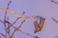 Hanging On (Stevie Gillen) Tags: winter cold withering dying dead twig tree leaf leaves