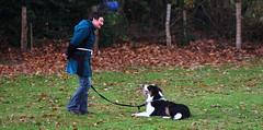 aprentissage (Xavier_Claise) Tags: dog chien berger sheperd australien tricolore chiot