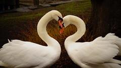 <3 (Raphael Lenzi) Tags: love heart belgium bruges swan cisne coração amor