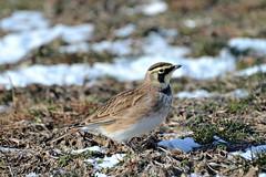 Horned Lark (jaho326) Tags: hornedlark lark shortbeach stratfordct
