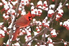 *** Cardinal rouge / Northern Cardinal male (ricketdi) Tags: bird cantley cardinal cardinalrouge cardinaliscardinalis northerncardinal coth5 ngc npc explore23dec2016no3