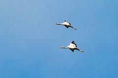 Grue cendrée (Grus grus) (yann.dimauro) Tags: animaux ardenne champagne der faune lac oiseau ornithologie rhone yanndimauro étang