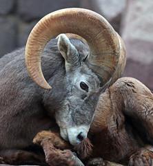 Barbarysheep, tedal burgerszoo JN6A1470 (j.a.kok) Tags: schaap dikhoornschaap sheep barbarysheep tedal mammal hoefdier bighornsheep burgerszoo burgerzoo herbivor zoogdier