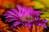 ECS_0775 (Deepak Kaw) Tags: beautiful flower colours drop dof droplet nature nikon tamron art artistic composition contrast bokeh bright depthoffield macro
