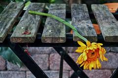 Blown / uitgebloeid (++Rob++) Tags: haarlem flowers bloemen chair stoel