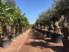 IMG_1697 (palmexpert_plants) Tags: garden mediterranean plantas olivos palmeras trachycarpus olijfboom olijfbomen palmboom palmexpert quatar plant tuin gardenpalm olivenbaum vivai palmbomen winterhard mediterrane rob verlinden eigen huis en
