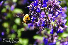 _MG_7959RMH 12.1 CMYK WebsiteRGB (creationartistcoPHOTO) Tags: bee animal purple bumblebee flower macro wing flight fly fuzzy