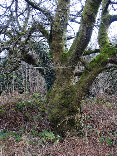 Mossy Oak, Blaen Bran, Upper Cwmbran 13 January 2017
