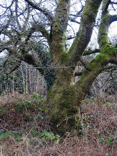 Mossy Oak, Blaen Bran, Upper Cwmbran 13 January 2017