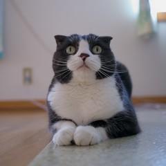 Have a purrfect week! (Long Sleeper (busy!)) Tags: sachi scottishfold tuxedocat cat pet animal portrait 500x500 dmcgx1