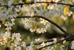 Garland of Blossom (jessijott) Tags: blossom white garland blten frühling