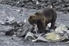 Alaskan Coastal Grizzly Bear fishing (Alan Vernon.) Tags: brown bear coastal ursus arctos horribilis mature eat eating fish fishing salmon nature wildlife wild mammal american bears omnivore predator shore