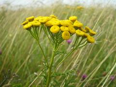 Tansi, Tansy, Tanacetum vulgare (Gwylan) Tags: tanacetumvulgare tansi tansy caernarfon blodyn gwyllt wildflower insectrepellent planhigyn yellowbuttons