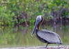 Pelican (dbking2162) Tags: birds bird nature wildlife green water profile animal nationalgeographic pelican fortmyersbeach florida
