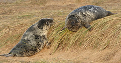 Grey Seals (Peanut1371) Tags: greyseal seals mammal donnanook nationalgeographicwildlife