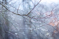 Glistening (aveyardphotography) Tags: glistening glisten bokeh rain water drops beads droplets tree nature light soft shallow branch twigs