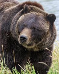 Hugo_20A7315 (Alfred J. Lockwood Photography) Tags: alfredjlockwood nature wildlife bear brownbear grizzly hugo portrait alaskawildlifeconservationcenter portage overcast alaska morning summer