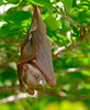 Epauletted Fruit Bat (Epomophorus sp.) juvenile ... (berniedup) Tags: lowersabie kruger epaulettedfruitbat epomophorus fruitbat bat taxonomy:genus=epomophorus epomophoruswahlbergi epomophorusangolensis