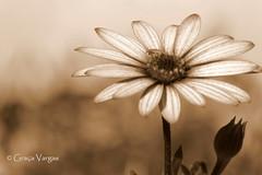 African Daisy (✿ Graça Vargas ✿) Tags: margarida daisy africandaisy purple macro flower graçavargas ©2017graçavargasallrightsreserved sephia sépia duetos 28810270517