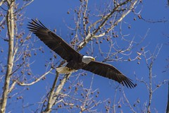 BALD EAGLES NESTING ON LEVEE RD (nsxbirder) Tags: baldeagle haliaeetusleucocephalus brookville indiana franklincounty whitewaterriver