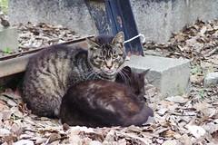 Today's Cat@2017-03-30 (masatsu) Tags: cat thebiggestgroupwithonlycats catspotting pentax mx1