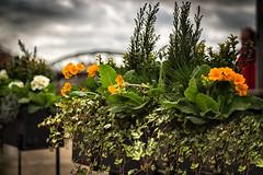 Barnes Bridge Flower Baskets (Jomak1) Tags: 2017 barnes barnesbridge breathinglondon february london rps thamespathway baskets flower jomak1 photowalk pots rail railway winter bridge span