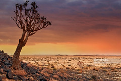 Quiver tree, Namibia (Nick Brundle - Photography) Tags: namibia southafrica kalaharidesert landscape scenics desert quivertree africa africanculture dusk northerncapeprovince quivertreeforest sunset tree africanaloe aloe cloudscape extremeterrain horizontal nature outdoors plant rock rockformation sky southernafrica uncultivated nikond750 nikon24120mmf4 gettyimages