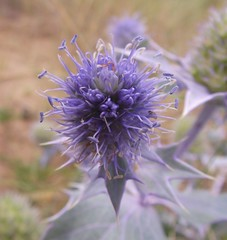Eryngium maritimum (Sea Holly), Walton-on-the-Naze, Essex, 15.8.15 (respect_all_plants) Tags: wildflowers essex seaholly waltononthenaze eryngiummaritimum