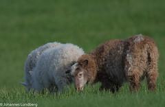 26062015-484.jpg (JohannesLundberg) Tags: sheep bovidae mammalia fr ovisaries eutheria ovis artiodactyla caprinae theria caprini tamfr