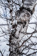 La peau (oxybis_photos) Tags: tree silver bark birch arbre corce bouleau abisko sude