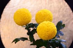 Pompon mum (qooh88) Tags: sphere chrysanthemum asteraceae perennial       asteroideae ballshaped     pingpongmum  pomponmum  pompommum        chrysanthemummorifoliumcvpompon