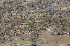 Mallee (oz_lightning) Tags: plants nature ecology landscape patterns australia eucalyptus sa aus southaustralia myrtaceae canonef70200mmf4lisusm gawlerrangesnationalpark gawlerrangesnp canonef14xiiextender canon6d malleewoodland chillunie