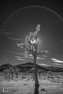 Joshua Tree - IR