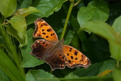 2015 Eastern Comma Butterfly (Polygonia comma) 3 (DrLensCap) Tags: park chicago robert nature butterfly bug insect illinois village north center il eastern kramer comma polygonia