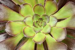 Aeonium arboreum (greggys stuff) Tags: singleton aeoniumarboreum