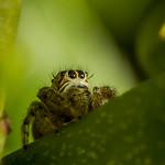 Salticidae oOOo thumbnail