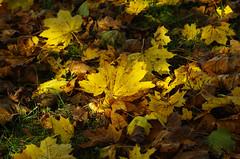 IMG6190 Autumn Leaves Flickr (timmijo) Tags: autumn fallleaves fall leaves yellow maple autumnleaves acer mapleleaves fallenleaves leafpile yellowleaves acersaccharinum mapletreefoliage