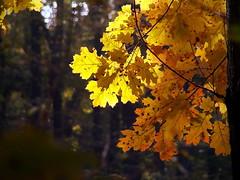 Autumn (R_Ivanova) Tags: nature autumn light fall forest colors color yellow sony rivanova риванова природа leaf plant tree bulgaria outdoor есен листа цветно гора светлина