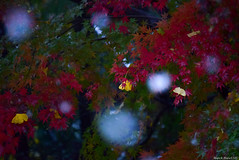(March Hare1145) Tags: snow 雪 秋 冬 autumn winter 日本 japan maple tree 楓 モミジ 紅葉