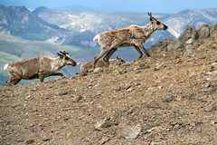 What a Treat to See These Caribou So Close (jpmckenna - Tenquille Lake Up Next) Tags: alaska denali denalinationalpark landscape unit11 backpacking getoutside mountain unit12 caribou
