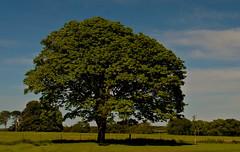 A Splendid Tree in Co. Wexford (murtphillips) Tags: ballyedmond wexford wellshouse beauty fullbloom